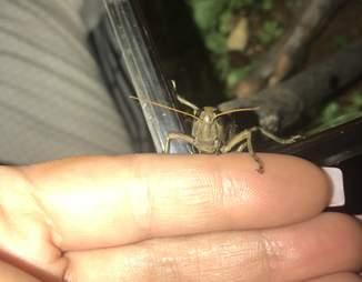 Grasshopper on woman's hand