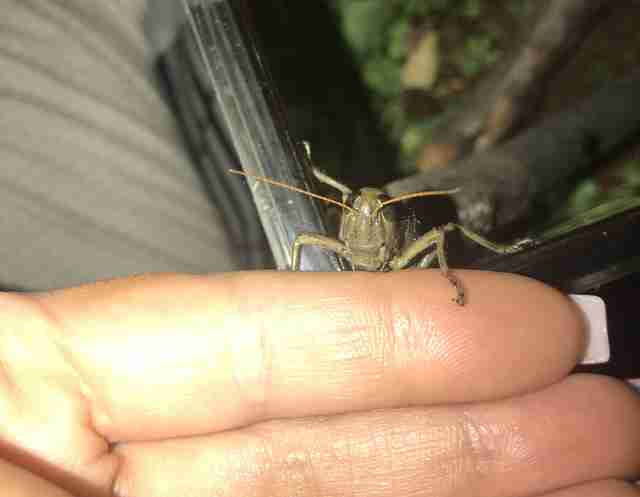 Grasshopper on woman's hand