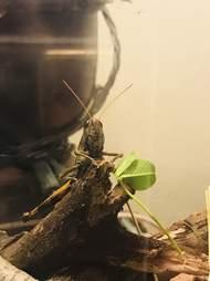 Grasshopper inside glass terrarium