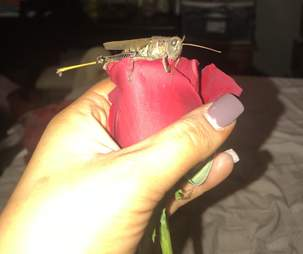 Grasshopper sitting on rose bud
