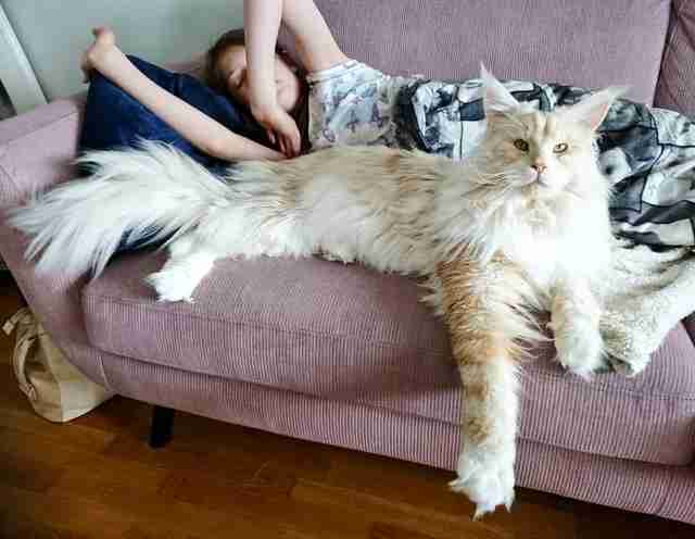 cat maine coon lotus
