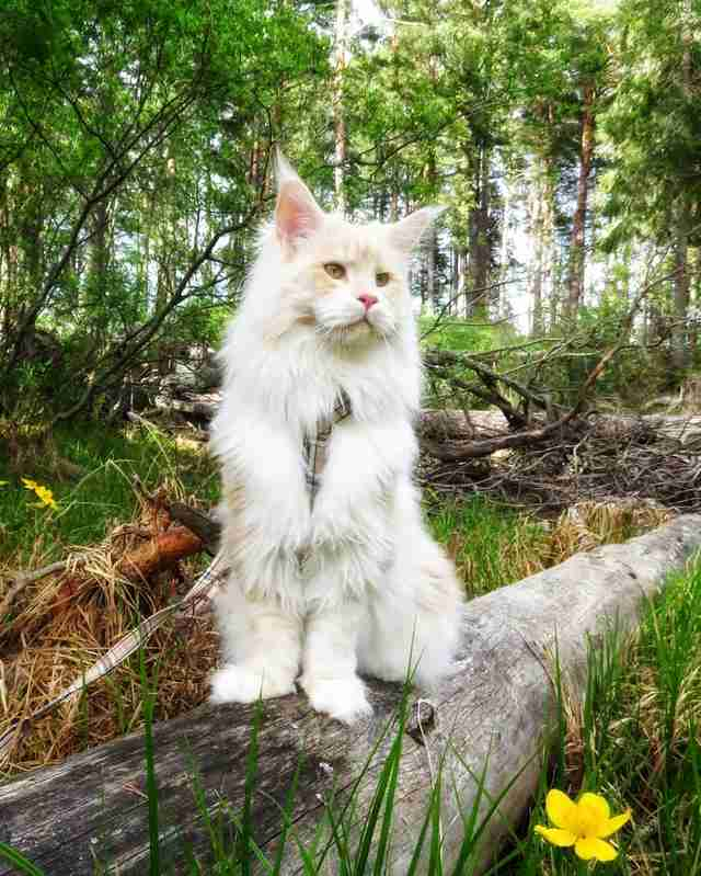 cat lotus maine coon