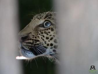 Leopard inside transport cage
