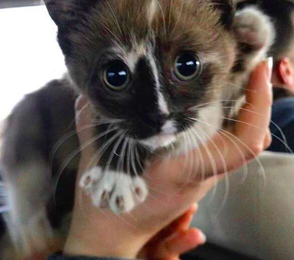 Kitten saved by cop gets adopted by him