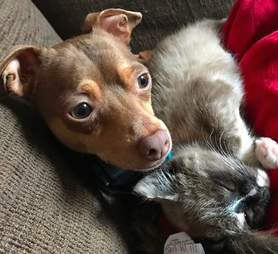 Kitten saved from highway snuggling up to rescue Chihuahua at new home