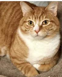 Large orange and white cat