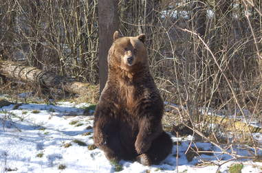 Rescued bear in snow at sanctuary