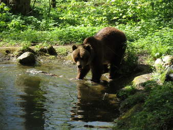 Rescued bear at sanctuary pond