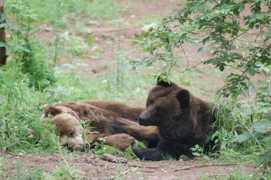 Rescued bears lounging at German sanctuary