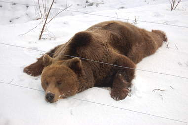 Rescued bear zonked out on the snow