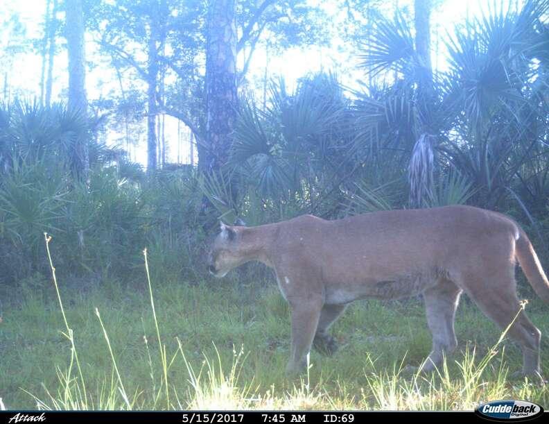 Endangered Florida panther in wildlife camera