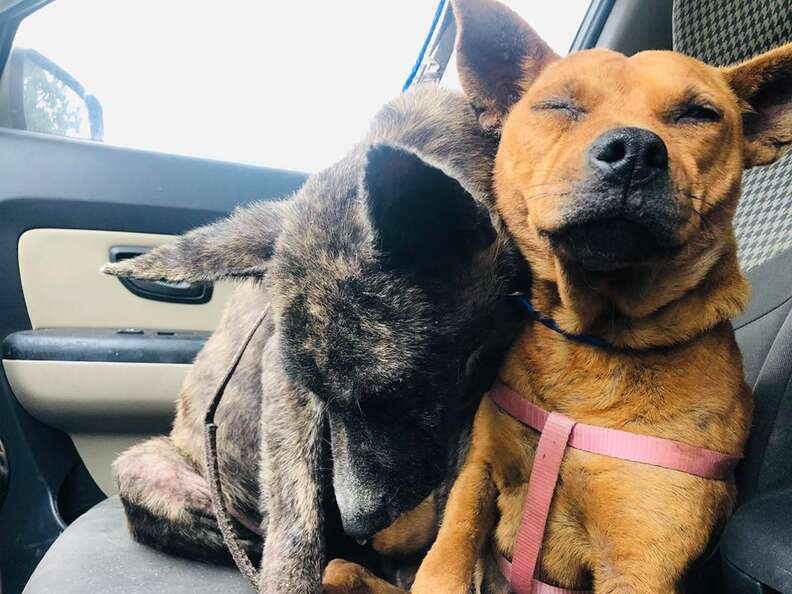Bonded dogs cuddling together in car
