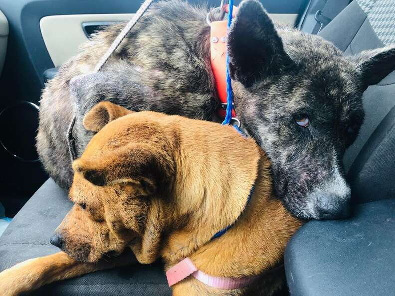 Dogs cuddled up together in car
