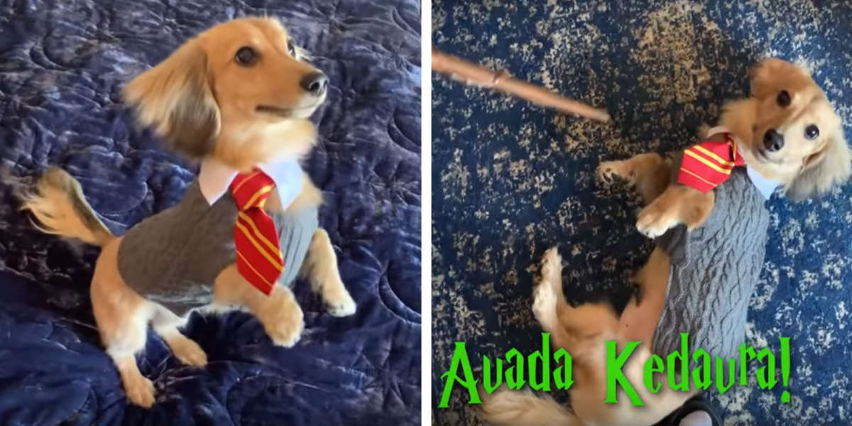 This Truly Charming Dog Responds Only To 'Harry Potter' Spells