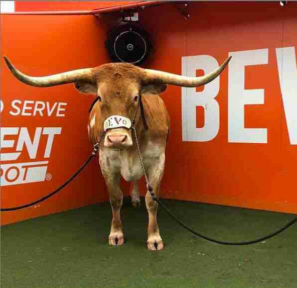bevo steer texas longhorn