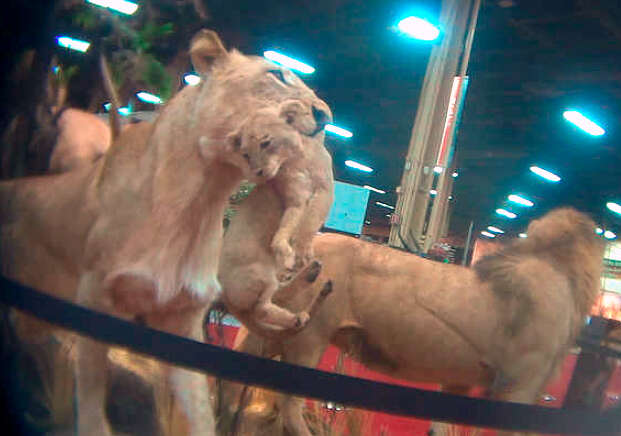lion canned hunting trophy hunt
