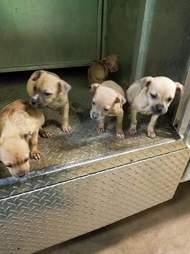dog rescue puppy cinnamon
