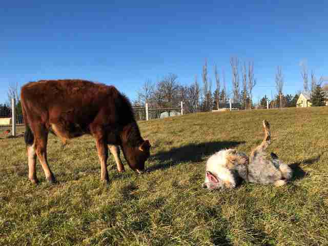 ​​​​​​​Dog and baby cow BFFs