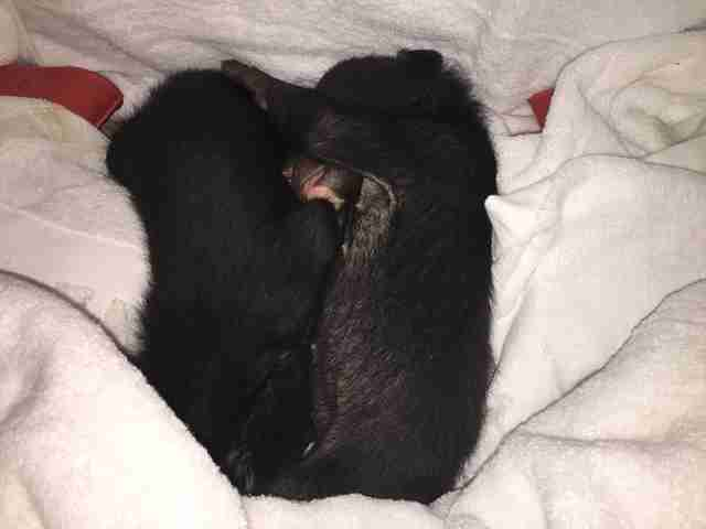 Asiatic black bear cubs saved from wildlife traffickers in Vietnam