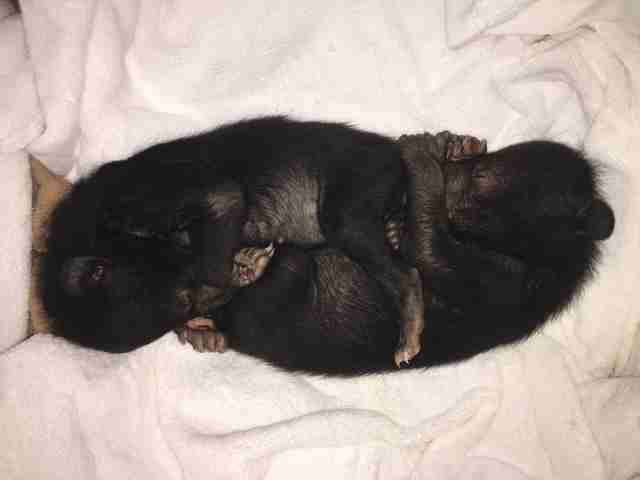 Asiatic black bear cubs saved from traffickers in Vietnam