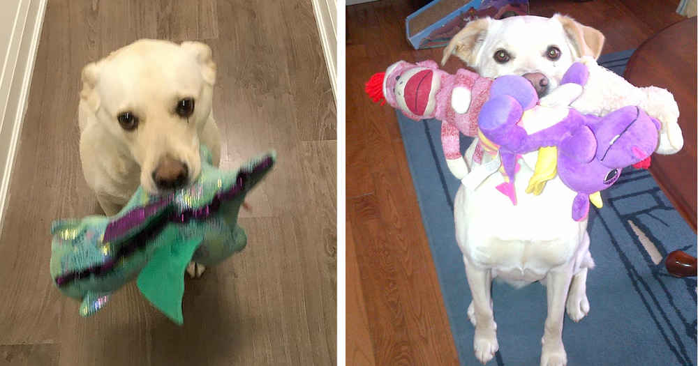 Friendly Dog Brings Toy To Every Guest Who Visits Her House