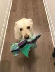 Dog shows off her plush stuffed animals