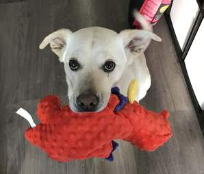 Atlas greets guest with toy