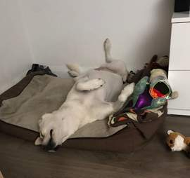 Atlas the rescue dog snuggles with her toys