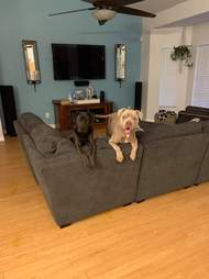 Dogs sitting on edge of couch