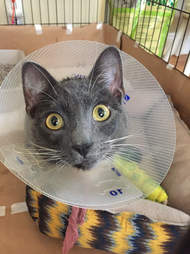Injured cat with cone around her head
