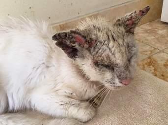 cat rescue cotton mange florida blind