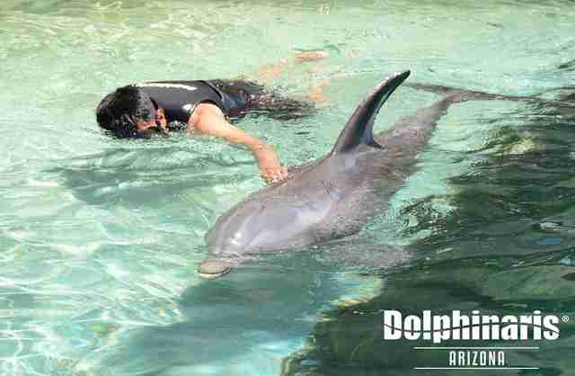 Person swimming with captive dolphin