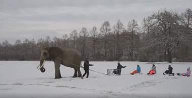 Captive elephant pulling kids on sled