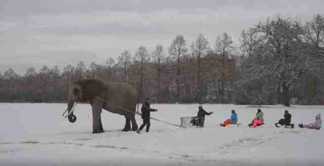 Captive elephant pulling kids on sled