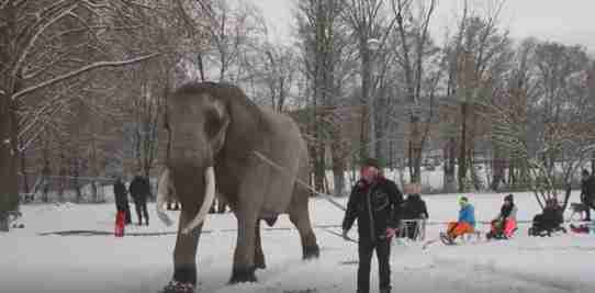 Captive elephant pulling kids on sleds