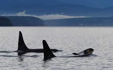Newborn wild orca calf
