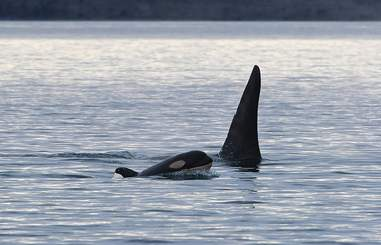 Newborn baby orca seen swimming with Southern Resident Killer Whales