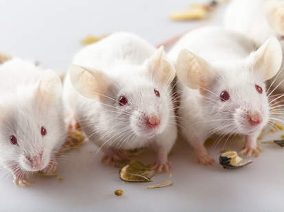 DeepSqueak, A.I., mice chatter, artificial intelligence