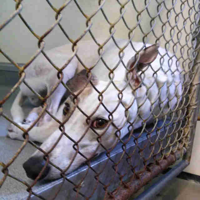 Greyhound in cage at canine blood bank