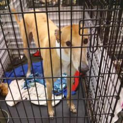 Dog inside metal cage at canine blood bank