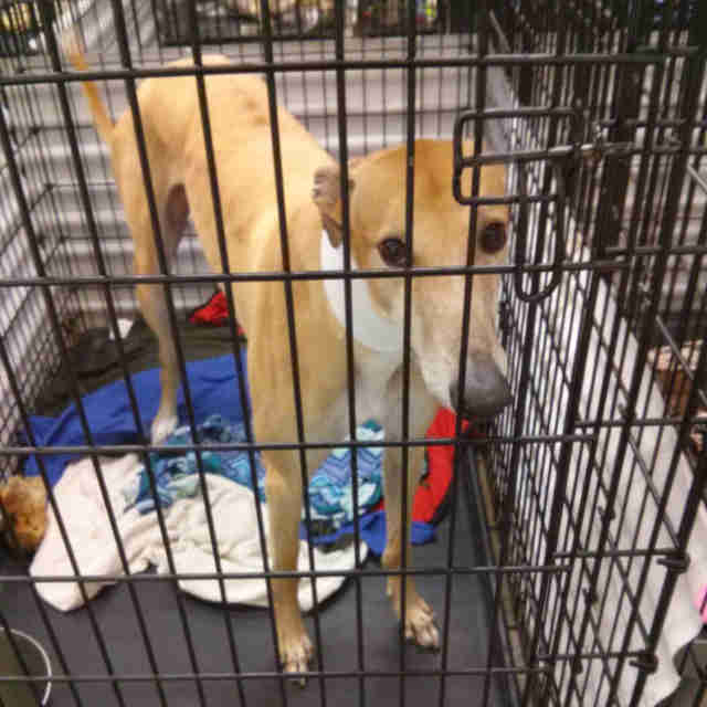 Dog inside metal cage at canine blood bank