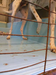 Dog with injured feet inside kennel