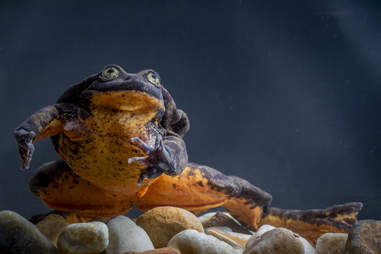 Romeo the loneliest frog on the planet