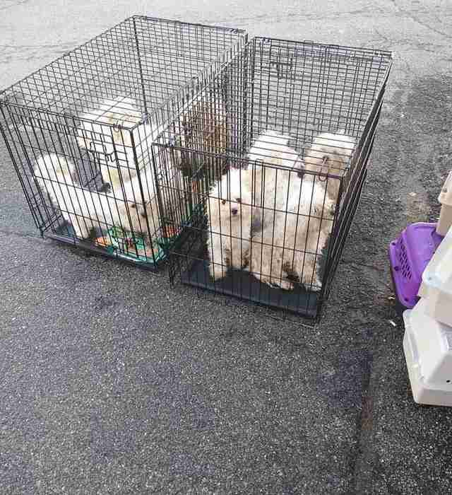 nine Bichons left in crates in animal shelter parking lot