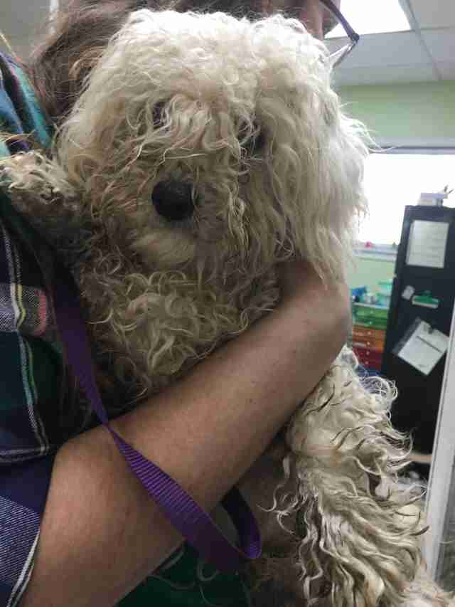 Severely matted Bichon frise abandoned at shelter