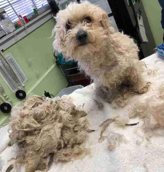 Shelter dog after his fur matts have been cut away