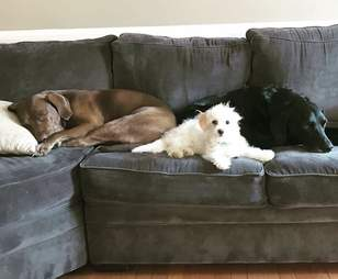 Abandoned Bichon in his new foster home