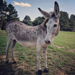 donkey mom rescue north carolina