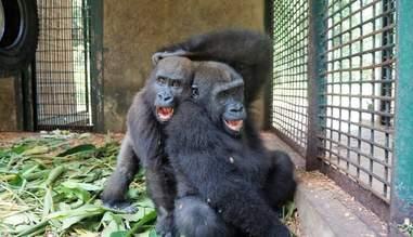 Gorilla best friends horsing around at sanctuary
