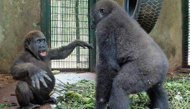 Gorilla best friends meeting at rescue center in Cameroon